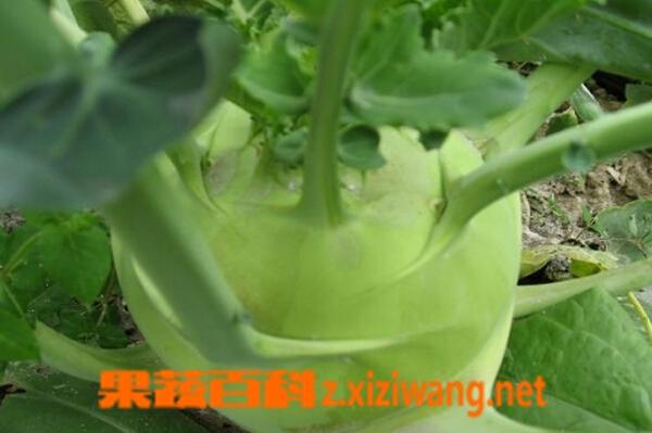 果蔬百科蔓菁